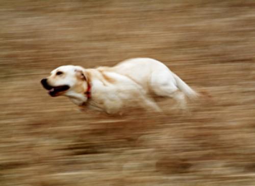 chó chạy ngoài đồng